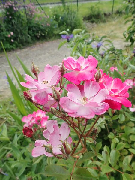 rosa lavander dream - Page 2 P5233420