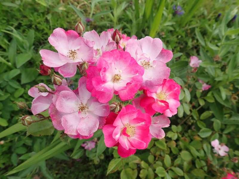 rosa lavander dream - Page 2 P5233421