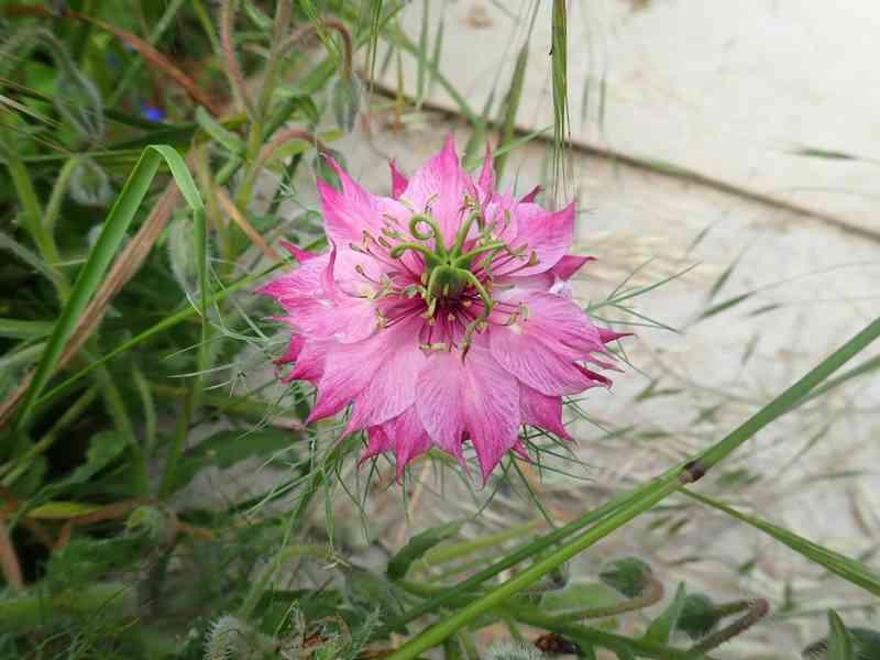 Nigella damascena - nigelle de Damas P5233516
