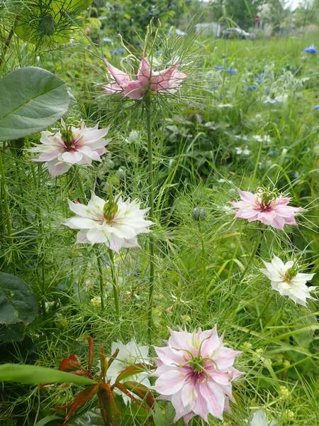Nigella damascena - nigelle de Damas P5233520