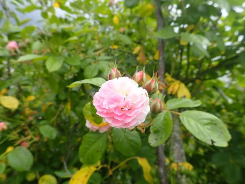 Rosa 'Bouquet Parfait' !!! - Page 8 P5233539