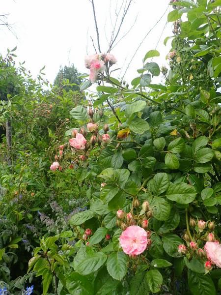 Rosa 'Bouquet Parfait' !!! - Page 9 P5233540
