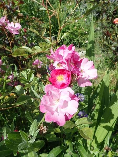 rosa lavander dream - Page 2 P5283513