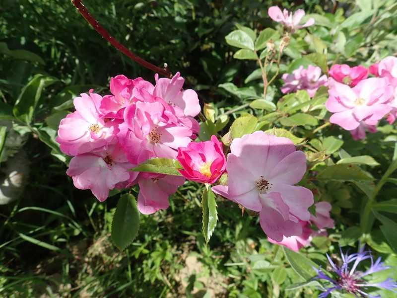 rosa lavander dream - Page 2 P5283514