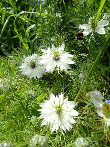 Nigella damascena - nigelle de Damas P5283612