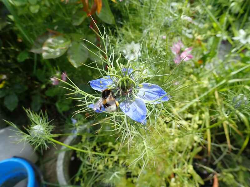 Nigella damascena - nigelle de Damas P5283614
