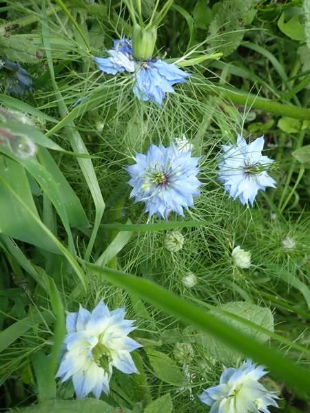 Nigella damascena - nigelle de Damas P5293616