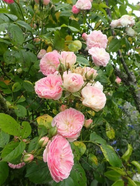 Rosa 'Bouquet Parfait' !!! - Page 9 P5293652