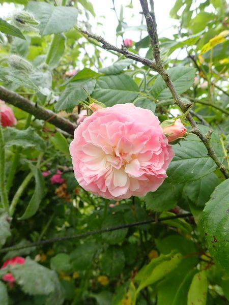 Rosa 'Bouquet Parfait' !!! - Page 9 P5293653