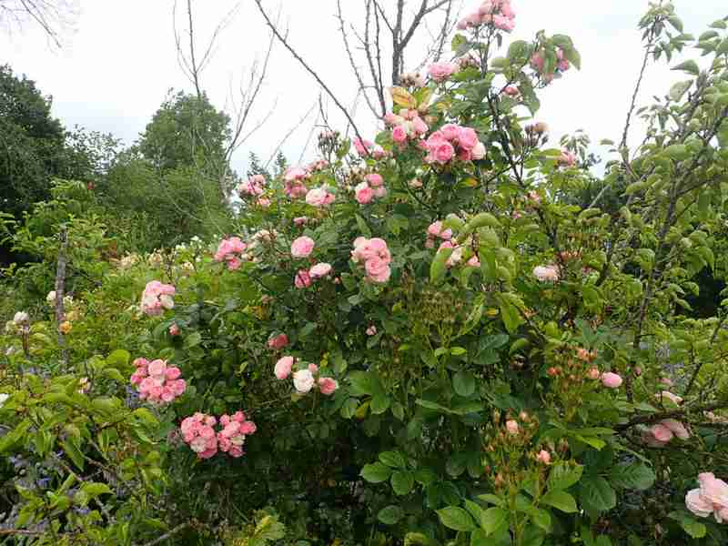 Rosa 'Bouquet Parfait' !!! - Page 9 P5293654