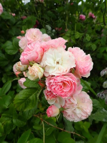 Rosa 'Bouquet Parfait' !!! - Page 9 P5293655