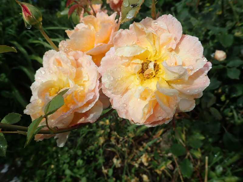 rosa 'lady of shalott' - Page 5 P6054222