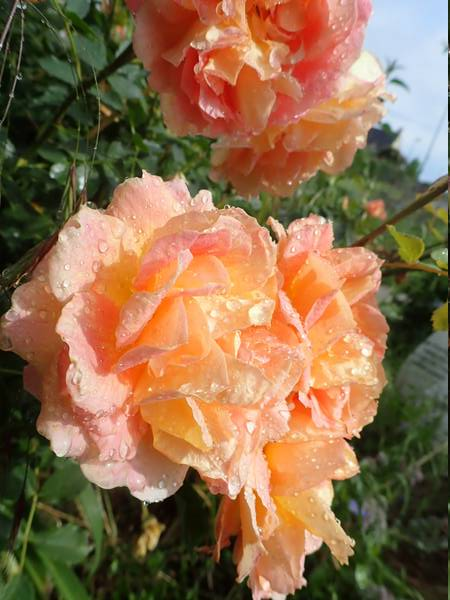 rosa 'lady of shalott' - Page 5 P6054223