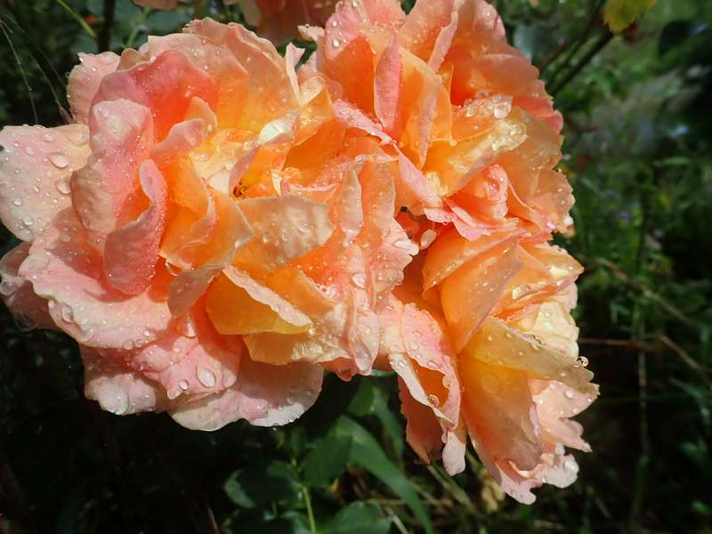 rosa 'lady of shalott' - Page 5 P6054224
