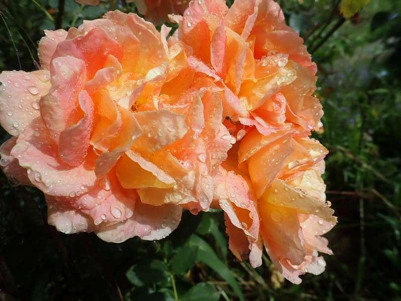 rosa 'lady of shalott' - Page 5 P6054224