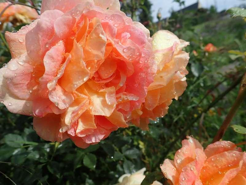 rosa 'lady of shalott' - Page 5 P6054225