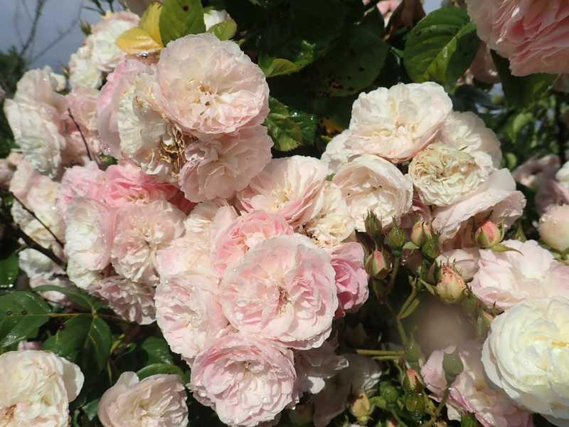 Rosa 'Bouquet Parfait' !!! - Page 9 P6054235