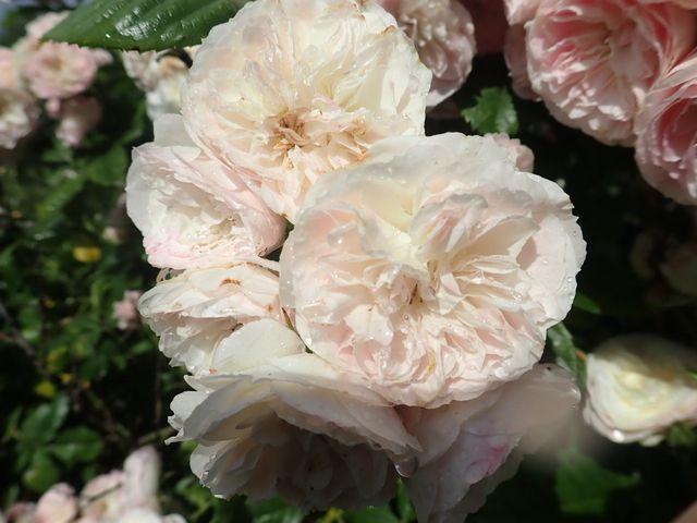 Rosa 'Bouquet Parfait' !!! - Page 9 P6054236