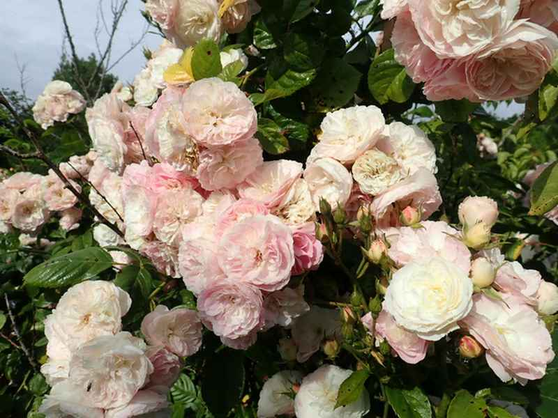Rosa 'Bouquet Parfait' !!! - Page 9 P6054327