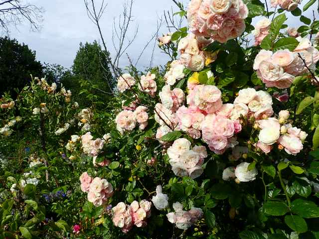 Rosa 'Bouquet Parfait' !!! - Page 9 P6054328