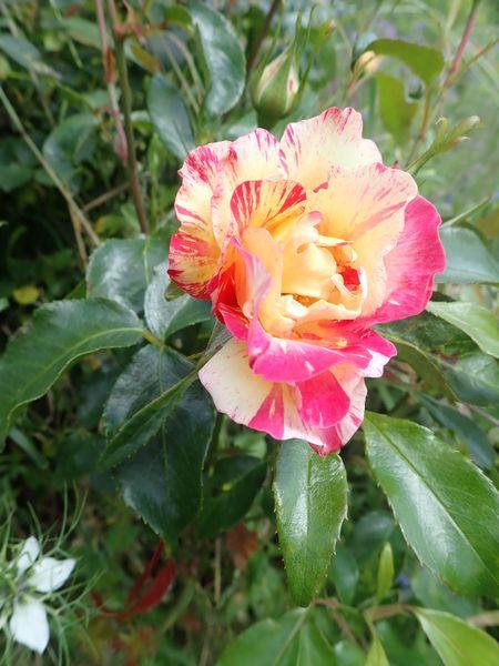 rosier 'Camille Pissaro' P6064428
