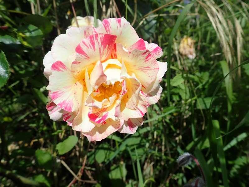 rosier 'Camille Pissaro' P6064431