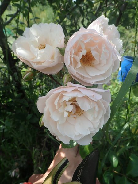Rosa 'The Generous Gardener' ! P6270012