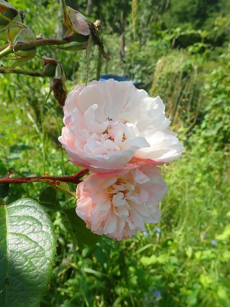 Rosa 'The Generous Gardener' ! P6270013