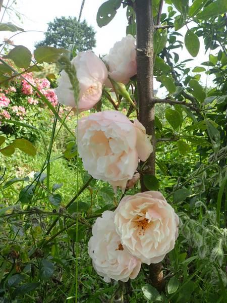 Rosa 'The Generous Gardener' ! P6270015