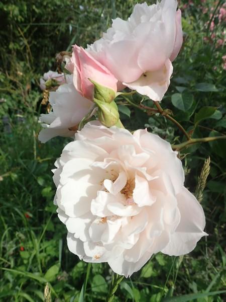Rosa 'The Generous Gardener' ! P6270016