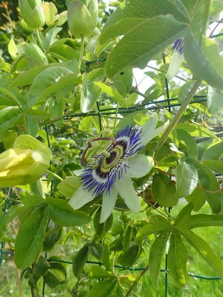 Passiflora caerulea - Page 4 P6270046