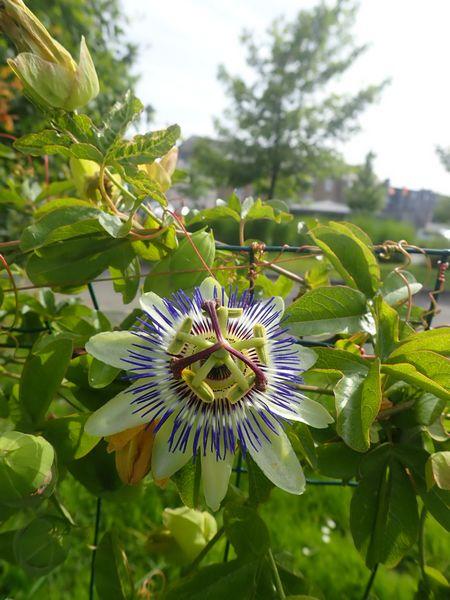 Passiflora caerulea - Page 4 P6270047