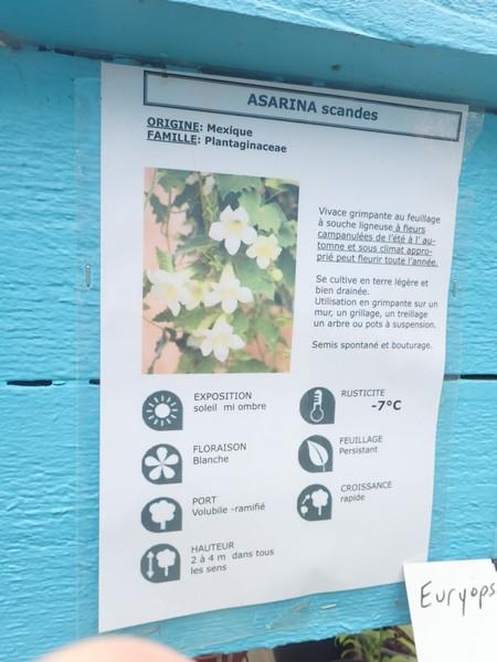Maurandya scandens (= Asarina scandens) - asarine grimpante P7070110