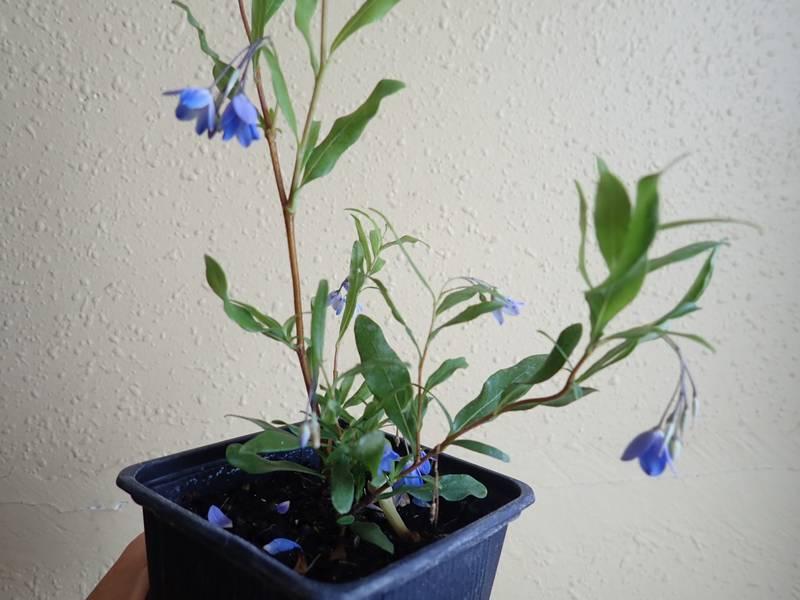 billardiera - Billardiera heterophylla (= Sollya heterophylla) P7140012