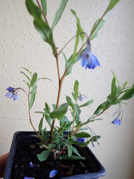 BILLARDIERA - Billardiera heterophylla (= Sollya heterophylla) P7140013