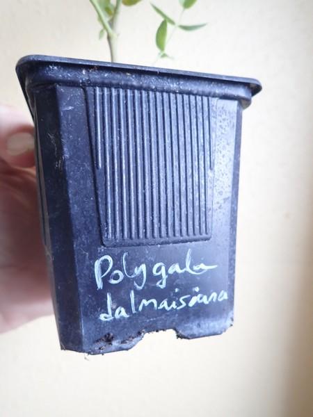 Polygala dalmaisiana [devinette] P7140015