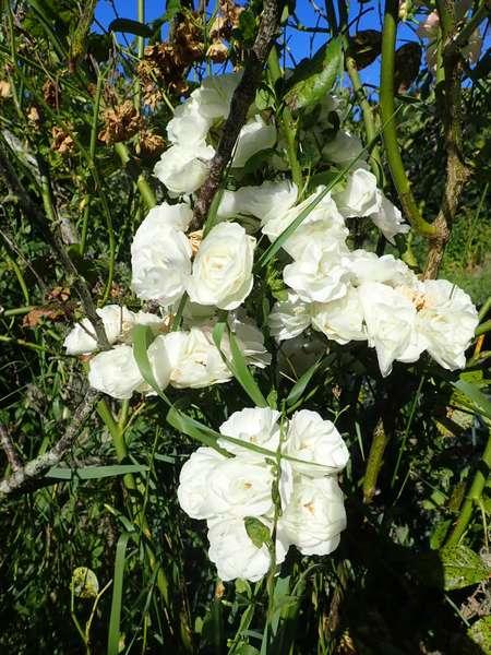 Rosa 'Bouquet Parfait' !!! - Page 9 P7150024