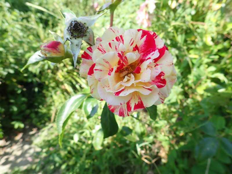 rosier 'Camille Pissaro' P7220013