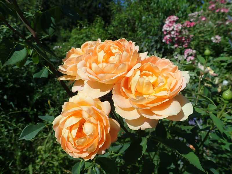 rosa 'lady of shalott' - Page 5 P7220028
