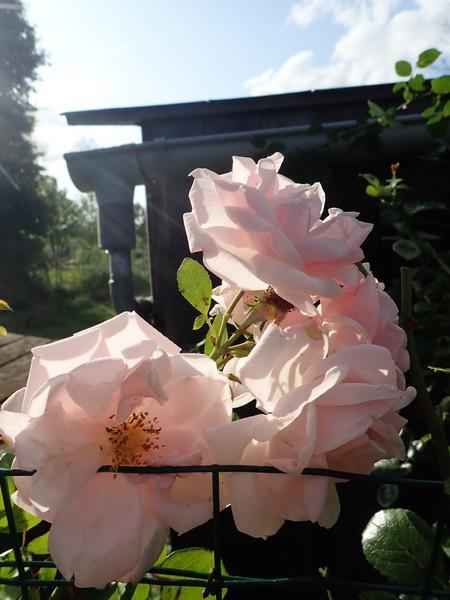 Rosa 'New Dawn' !!! - Page 5 P8120026