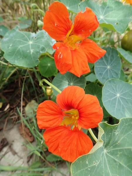 Tropaeolum majus - capucine des jardins P8180014