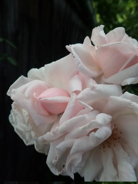 bouquets déshydratés - Page 2 P8180015