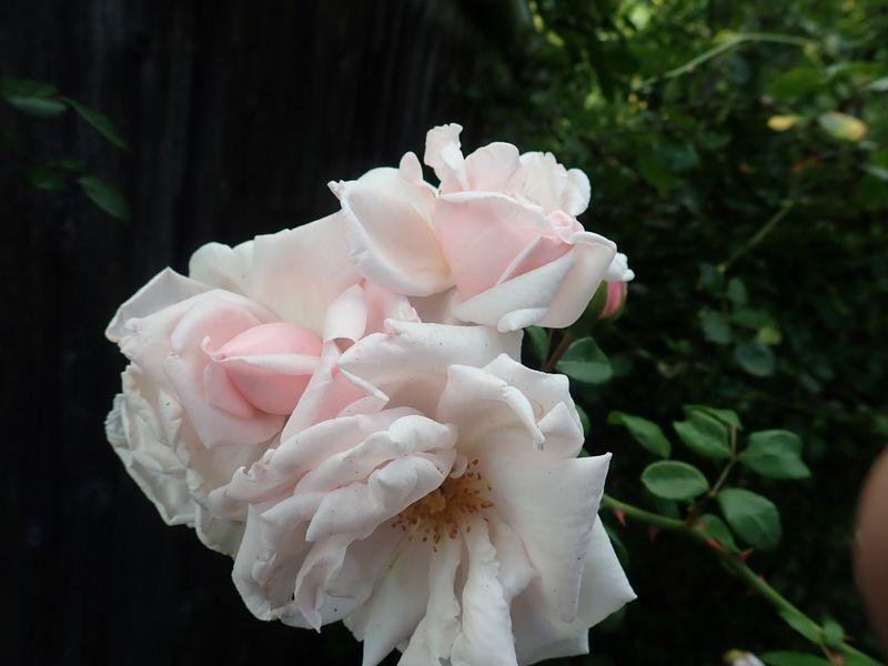 Rosa 'New Dawn' !!! - Page 5 P8180016
