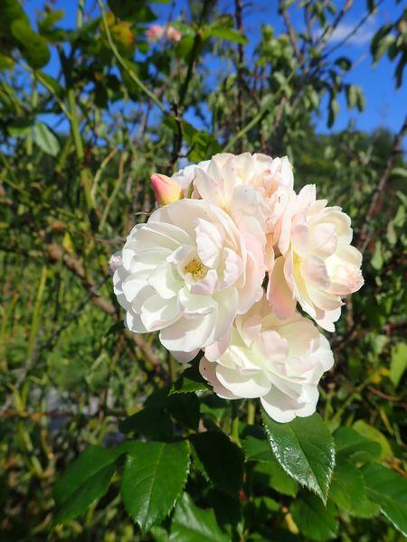 Rosa 'Bouquet Parfait' !!! - Page 10 P8210021