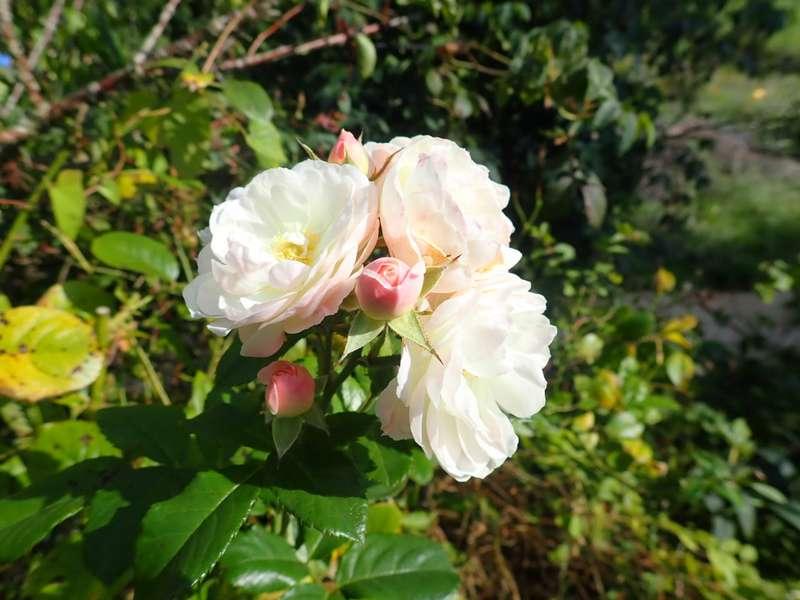 Rosa 'Bouquet Parfait' !!! - Page 10 P8210022