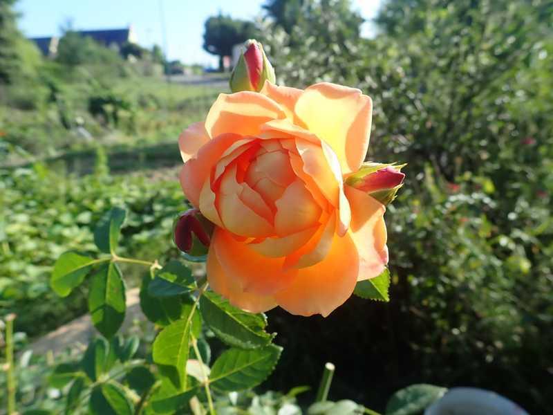 rosa 'lady of shalott' - Page 5 P8210023