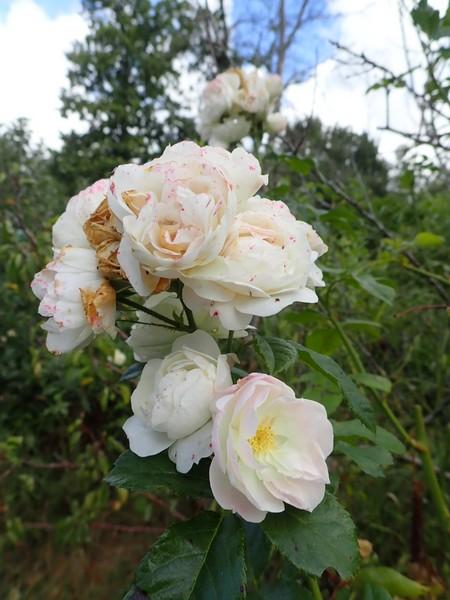 Rosa 'Bouquet Parfait' !!! - Page 10 P9010022