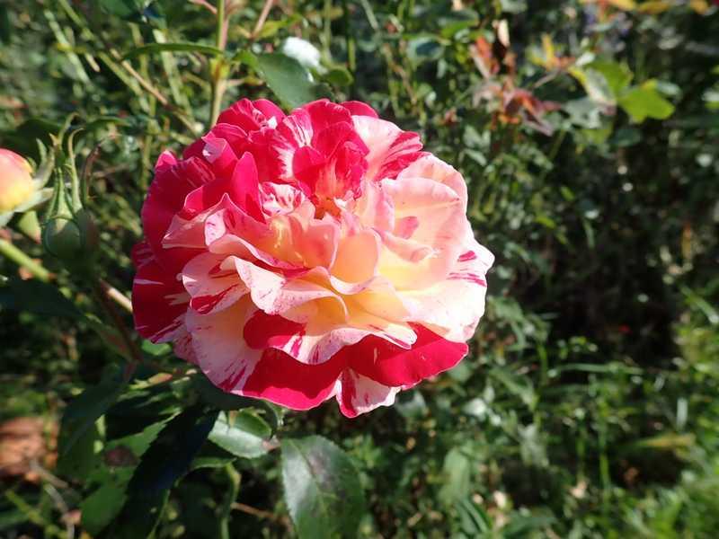 rosier 'Camille Pissaro' P9010043