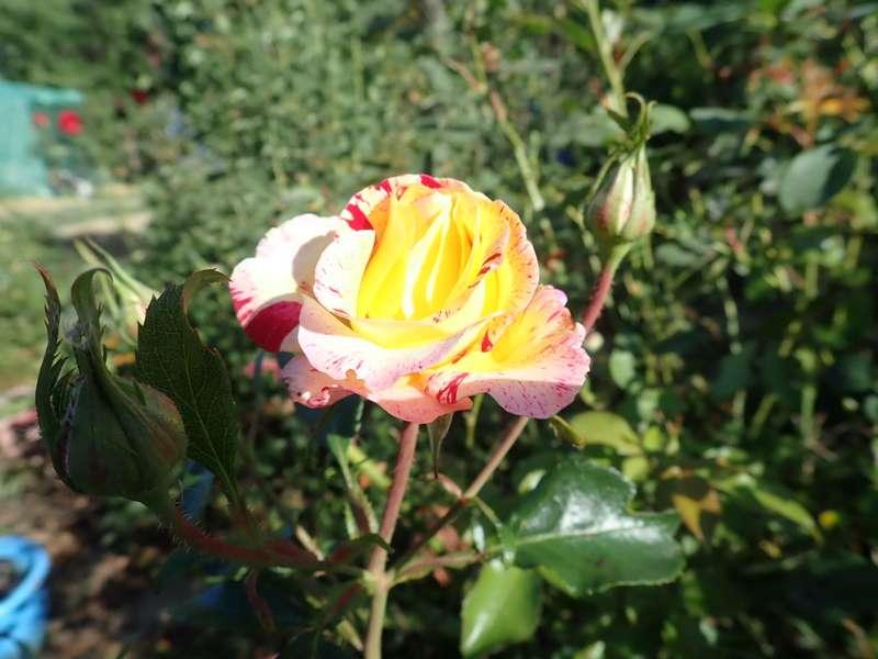 rosier 'Camille Pissaro' P9010044