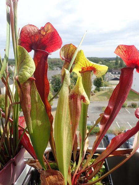 Plantes carnivores de Bip. - Page 3 P9090020